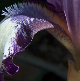 In close on the purple and white iris