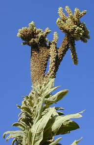 A whacked out mullein flower spike at Lucky Peak. Herbicide?