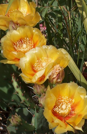 Part of our June rush of cactus flowers